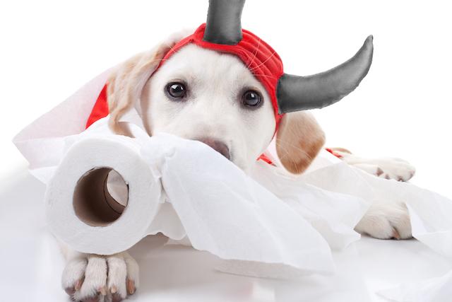 海賊のラブラドールレトリバーの子犬