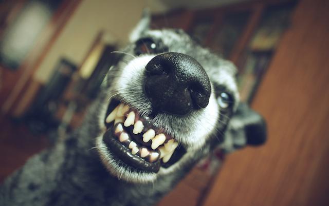 元々、「犬は虫歯にならない」と言われ続けていましたが、近年「犬も虫歯になる」という事が判明!ですが、人間に比べ犬は虫歯になりにくいです。